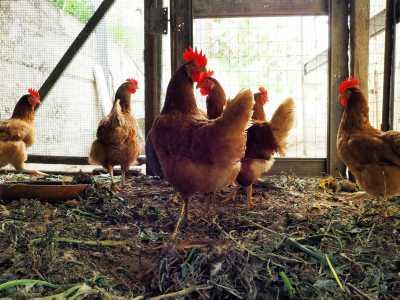 Lavorazione e sezionamento polli